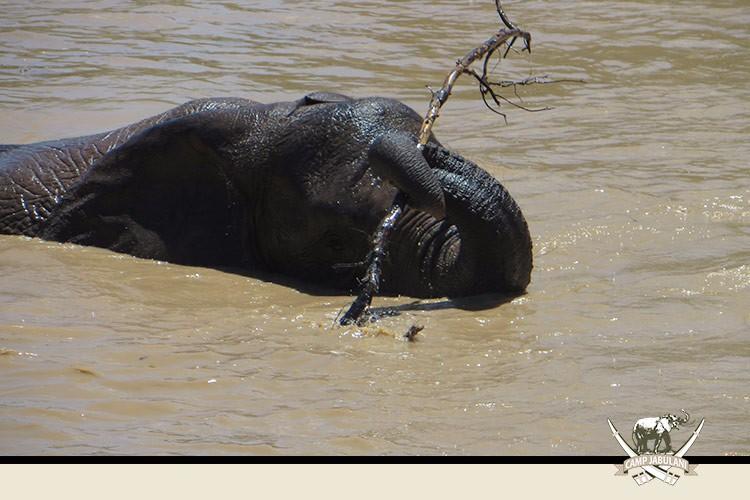 Kapama Game Reserve, Camp Jabulani, Wildlife, Swimming Elephant