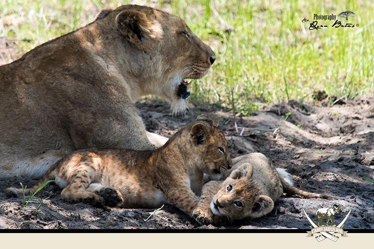 Kapama Game Reserve, Camp Jabulani, Wildlife, Lioness, Lion Cubs