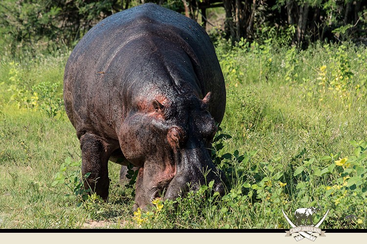 Kapama Game Reserve, Camp Jabulani, Wildlife, Grazing Hippo