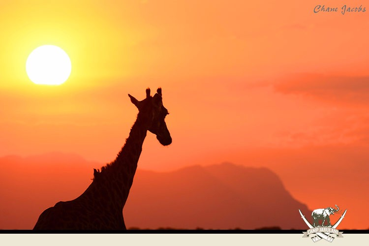 Kapama Game Reserve, Camp Jabulani, Wildlife, Giraffe, Sunset