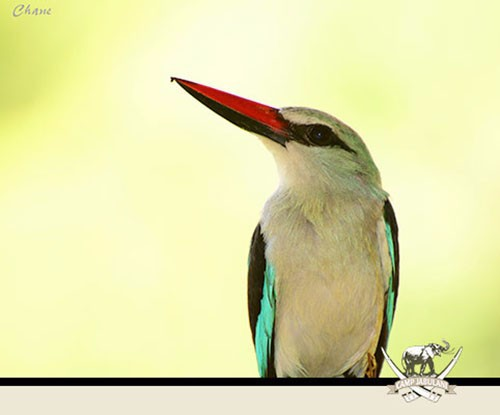 Woodland-kingfisher