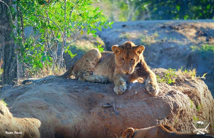 Guernsey lion pride at Camp Jabulani, Kapama.