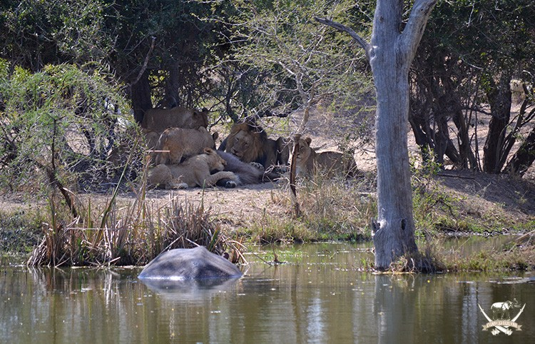 Lions kill waterbuck at Camp Jabulani
