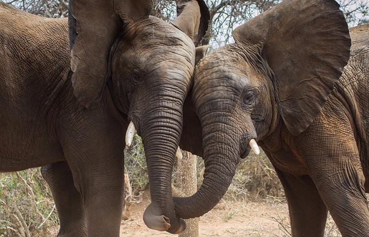 Camp Jabulani elephants